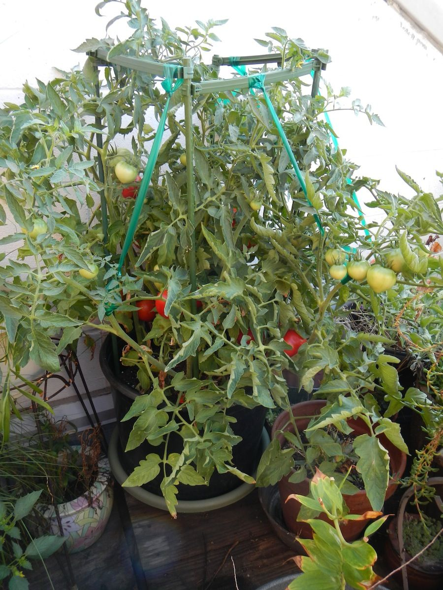 "Picture of Live Better Boy Tomato JB Vegetables Plant Fit 4"" Pot"