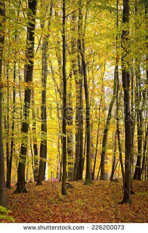 Autumn woods. Was seen in the Schorfheide-Chorin Biosphere Reserve. North of Brandenburg. This forest is the UNESCO World Heritage Buchenwald Grumsin.