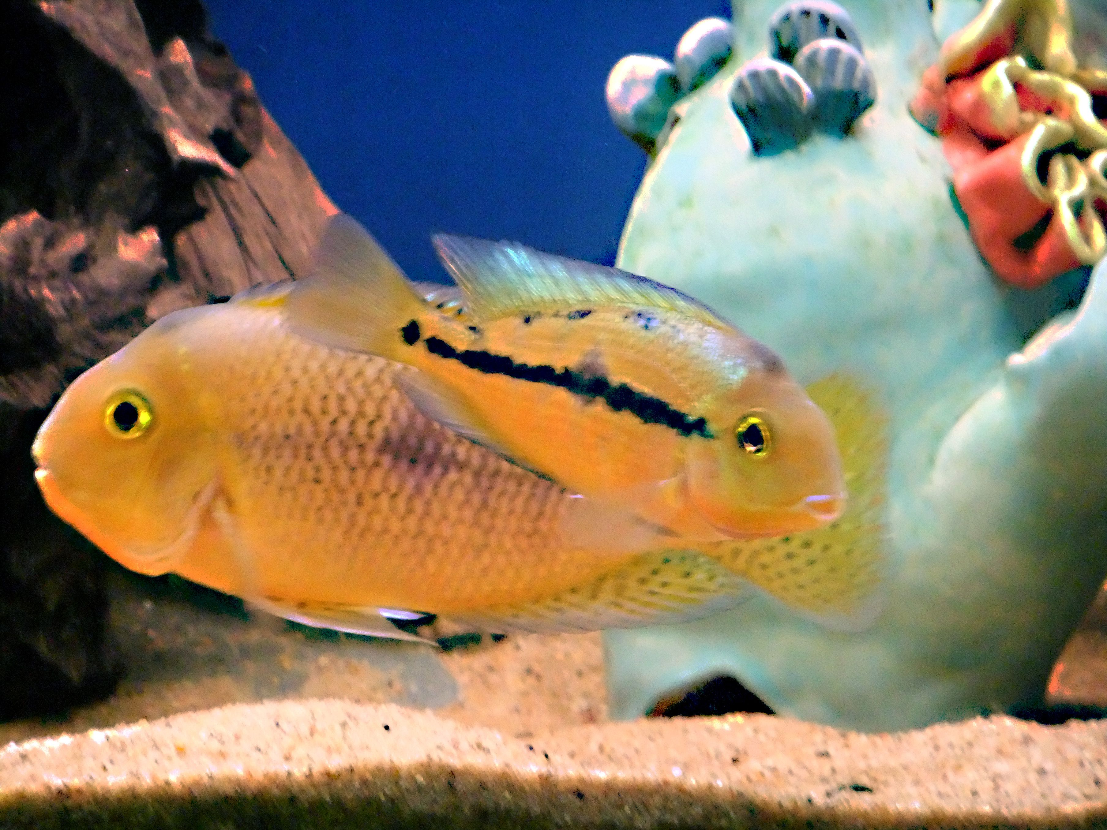 Freshwater aquarium fish breeding - Breeding Pair Of Nicaraguan Cichlids Nicaraguanaquarium Freshwateraquarium Fishbreeding