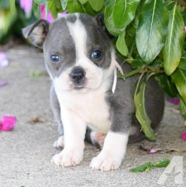 Image Result For Blue Boston Terrier Puppies For Sale Boston