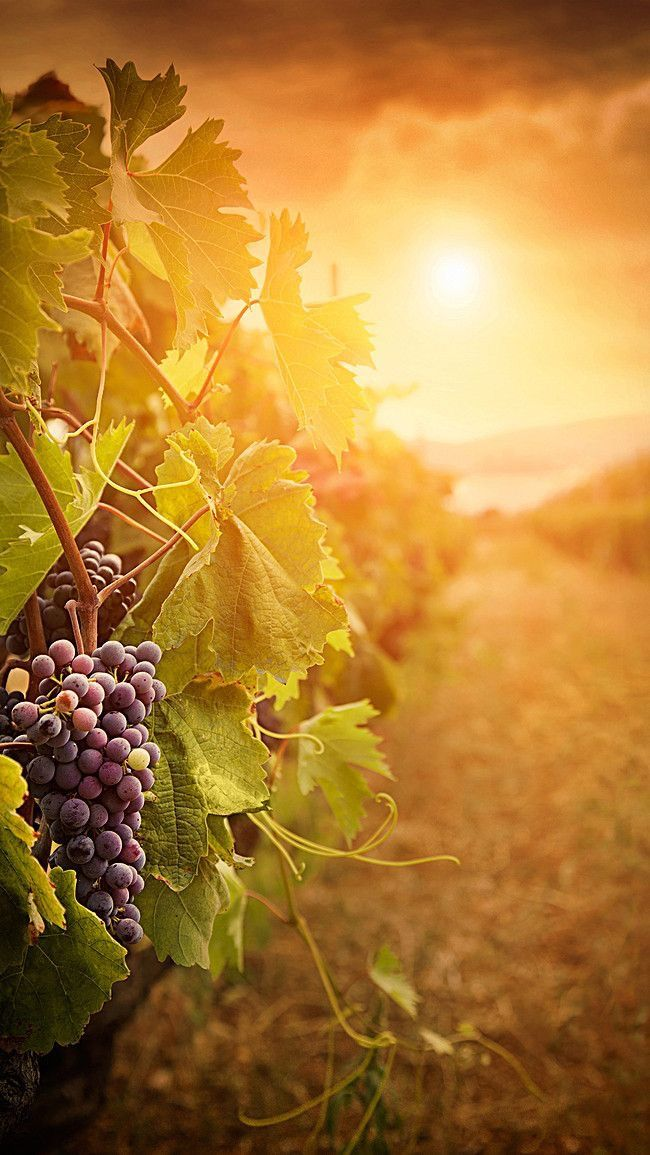 Pin By Chey Del Mundo On Grand Victorian Boards In 2020 Nature Photography Grape Vineyard Beautiful Nature