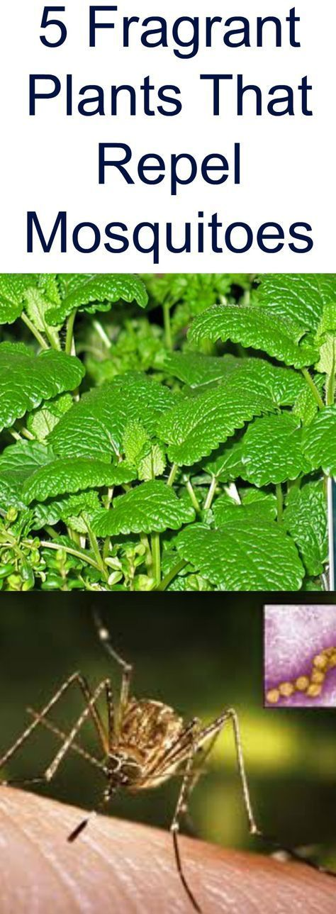5 Fragrant Plants That Repel Mosquitoes #mosquitoplants