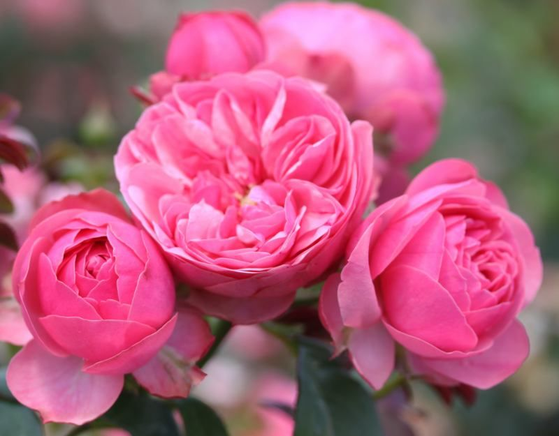 leonardo de vinci palatine roses garden roses pinterest rose flowers and david austin roses. Black Bedroom Furniture Sets. Home Design Ideas