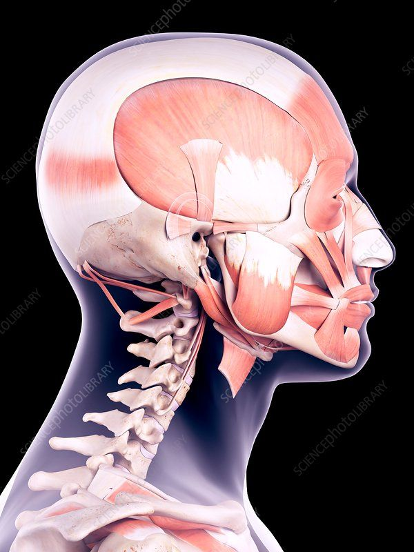 Human head muscles, illustration - Stock Image - F017/1040