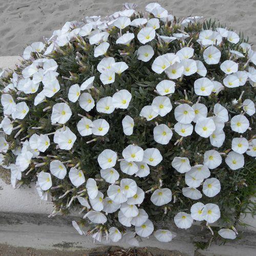 convolvulus cneorum plantes de plein soleil et exposition chaude capables de r sister au gel. Black Bedroom Furniture Sets. Home Design Ideas