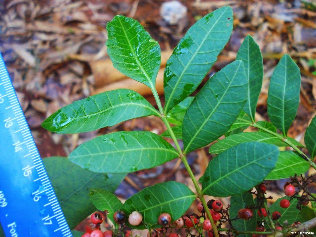 Resultado de imagem para folhas de aroeira