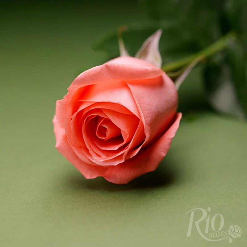 Rio Roses Marlyse Rozy