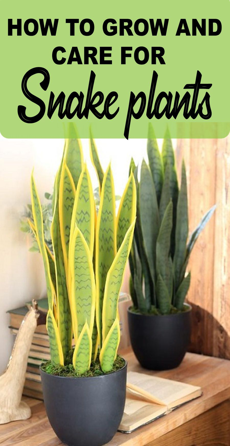 SNAKE PLANT CARE GROWING THE MOTHER IN LAW'S TONGUE