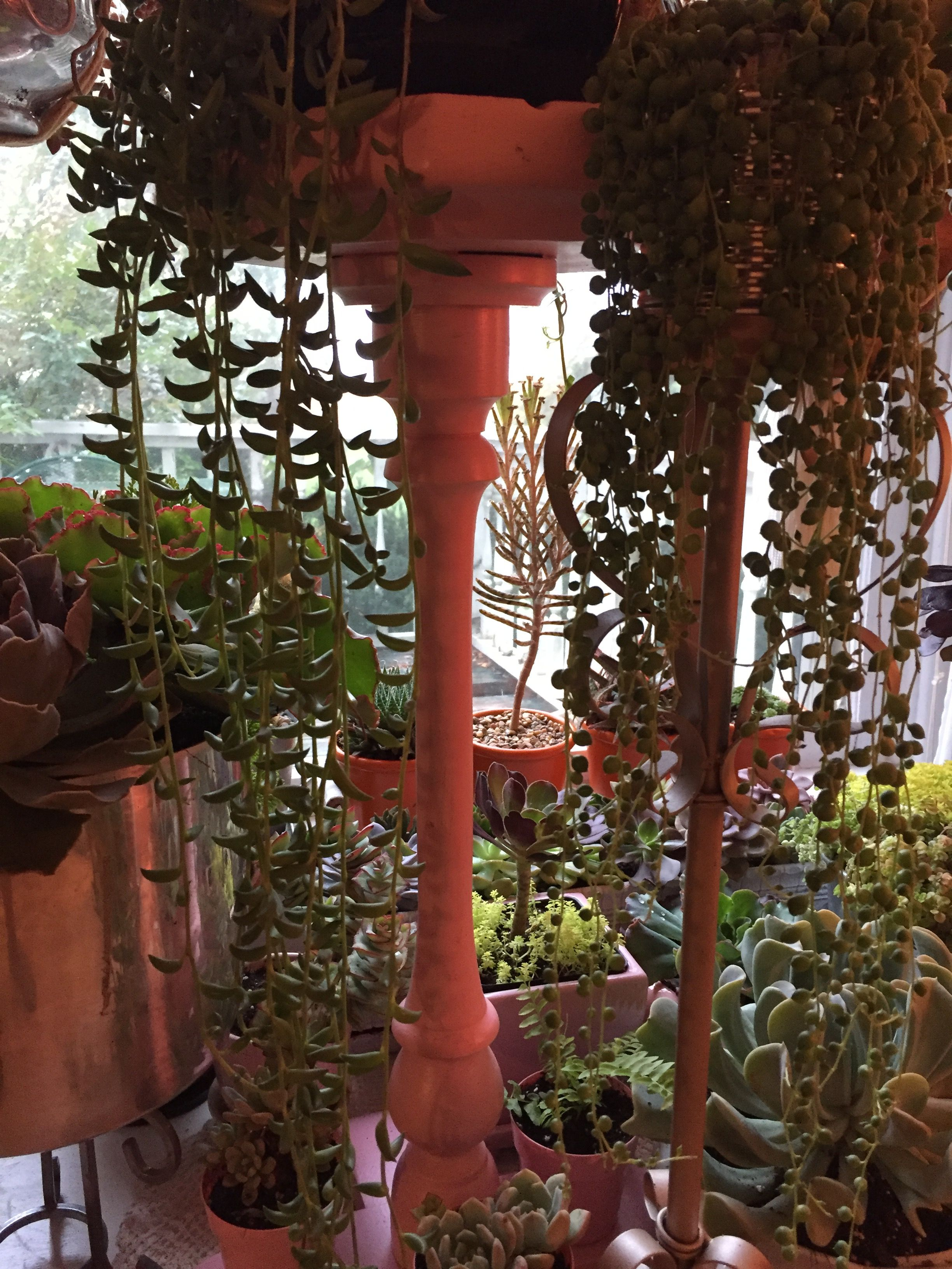 Trailing succulents string of bananas and string of pearls house