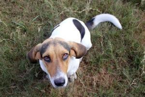 Adopt Haley On Treeing Walker Coonhound Basset Hound Dog Dogs