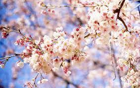 Resultado de imagen para flor de cerejeira