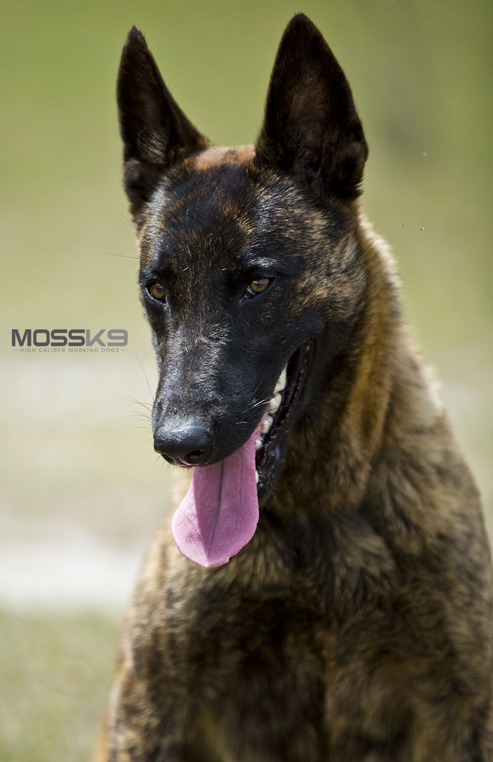 Female Knpv Dutch Shepherd Belgian Malinois Working Dog Moss K9 Dutch Shepherd Dog Malinois Dog Malinois Puppies For Sale