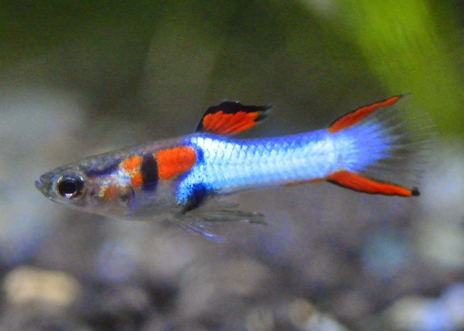Endlers guppy google s gning for Endler guppy