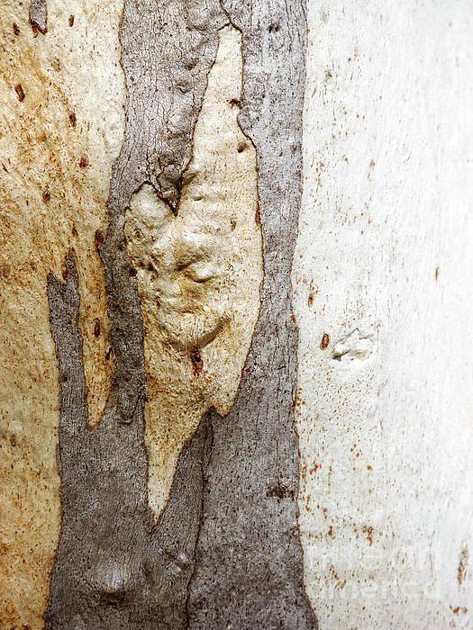 Tree Bark Series Ghost Gum 1 My photo gallery, Tree