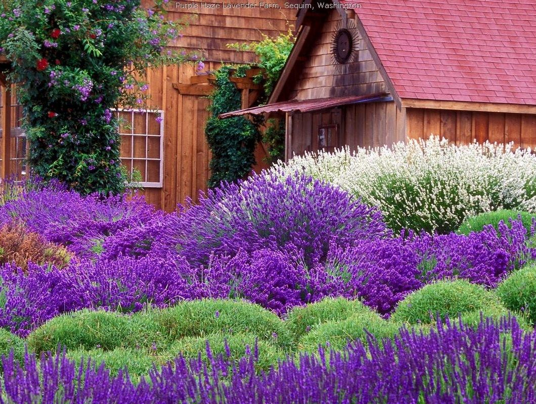 Purple Blaze #Lavender Farm  -  #flower #garden
