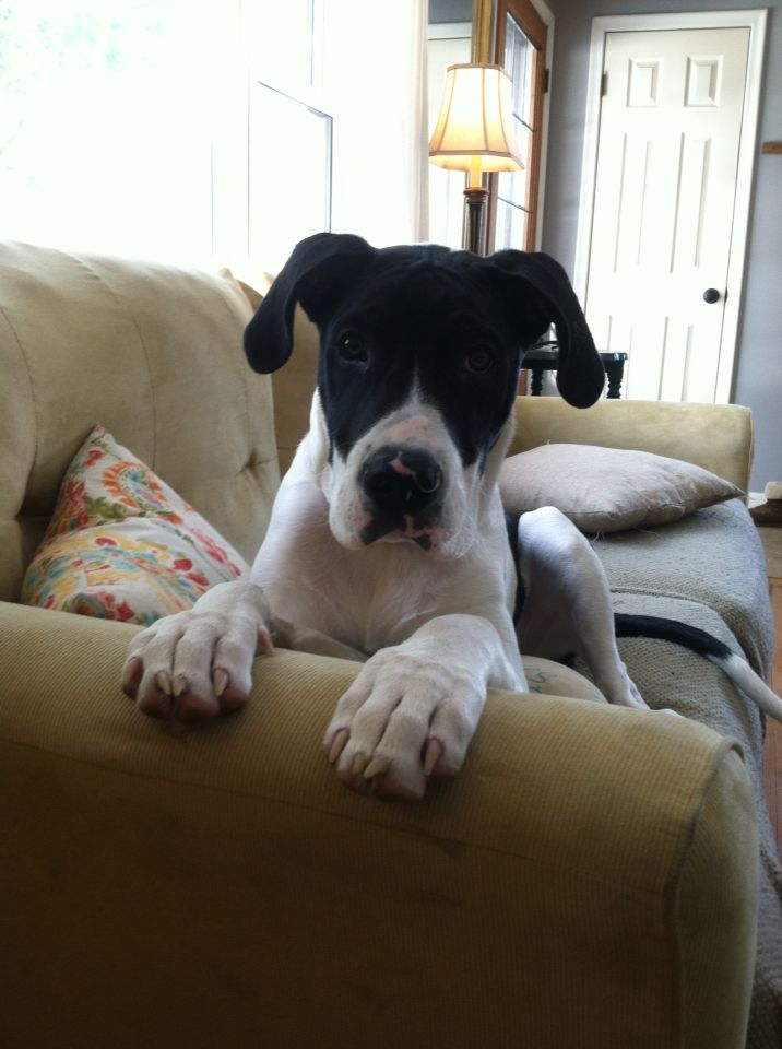 Waylon Cash Great Dane Pitbull Mix Almost 6 Months Old 59lbs
