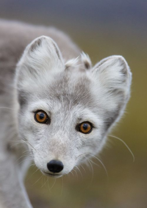 Arctic fox  by Kim Abel