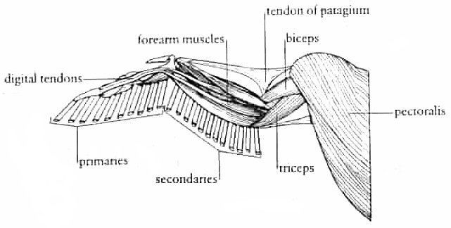 bird wing muscle anatomy