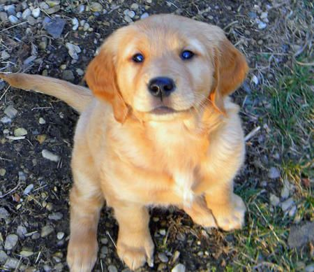 Puppy Breed Golden Retriever Hi My Name Is Misty Rose I M A 14