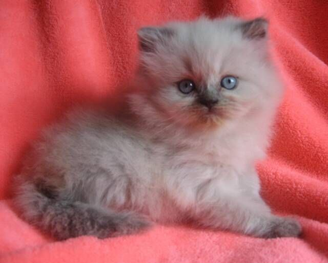 Kitten Colors Kittens Coloring Himalayan Kitten Cat Breeder