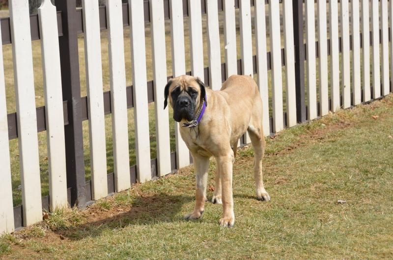 Adopt Two-y - Adopted on | Animals In Need | Mastiff dogs