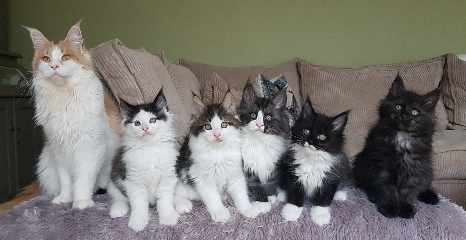 Maine Coon Kittens For Sale Near Michigan