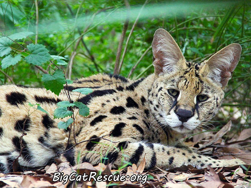 Meet Des, the threelegged big cat rescued near Tucson