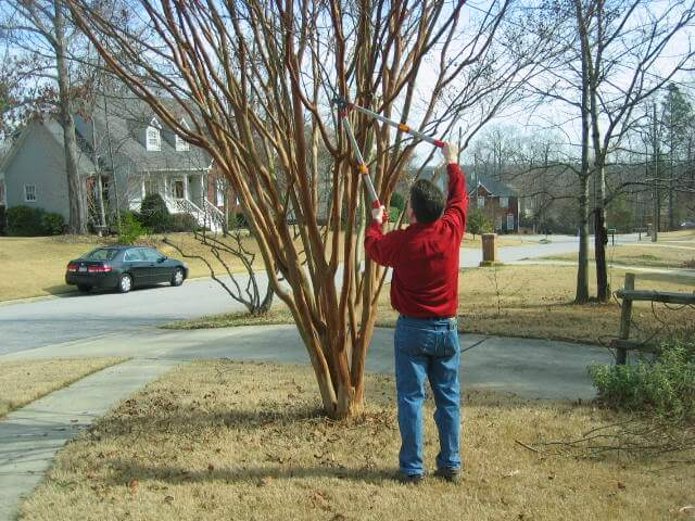 Pruning Crepe Myrtle 101 All You Need To Know Pruning Crepe Myrtles Crepe Myrtle Trees Crepe Myrtle