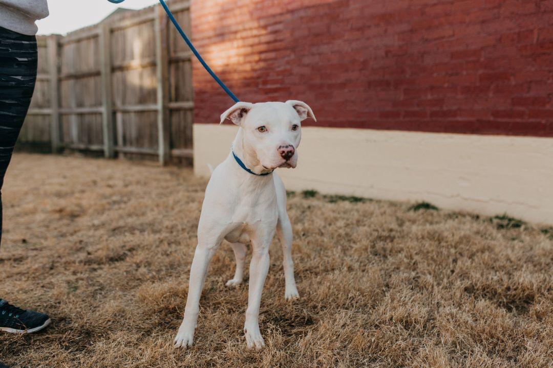 Adopt Pongo On Petfinder Terrier Mix Dogs Terrier Mix American