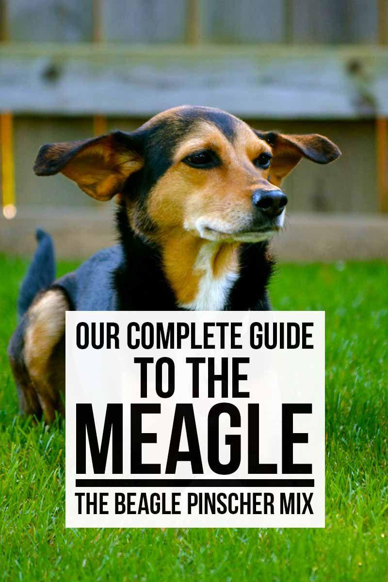 Meet The Meagle The Beagle Pinscher Mix Funny Dog Photos