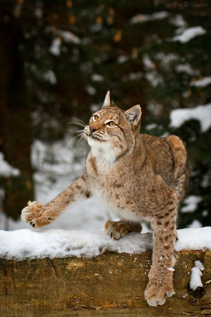 lynx in snow by Cloudtail