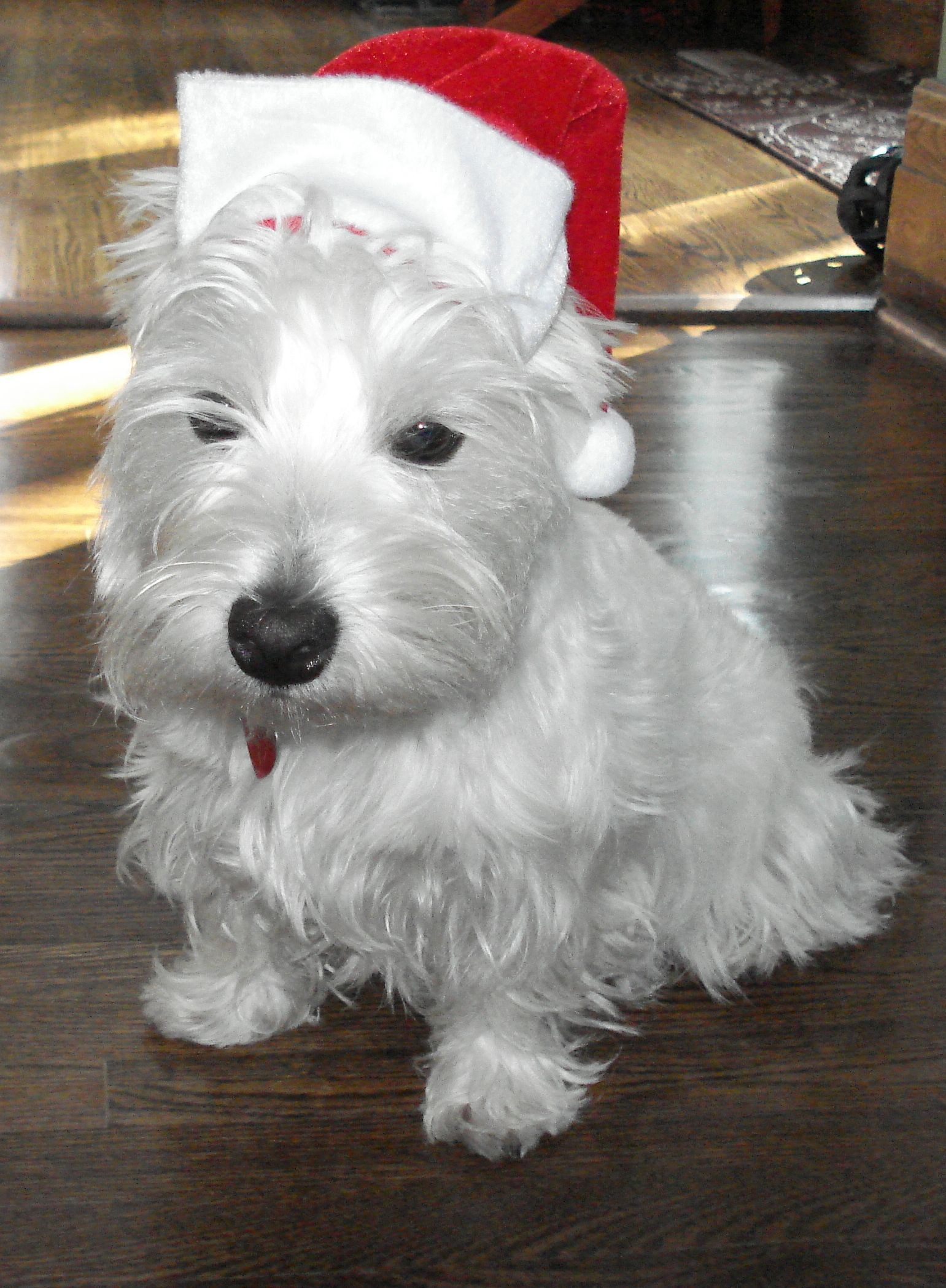 Hab A Bery Zaidie Chwismus Eberypup An People Westies West Highland White Terrier