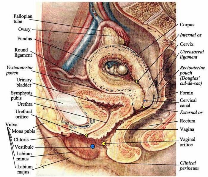 Pregnancy Uterine Anatomy Netter Ligament Google Search Anatomy