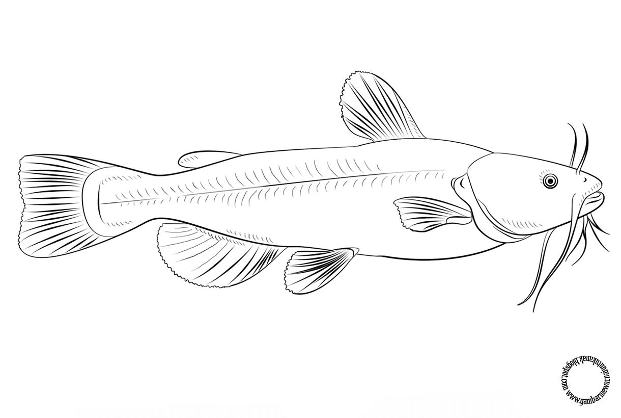 Gambar Mewarnai Ikan Lele Untuk Anak Gambar Mewarnai Anak