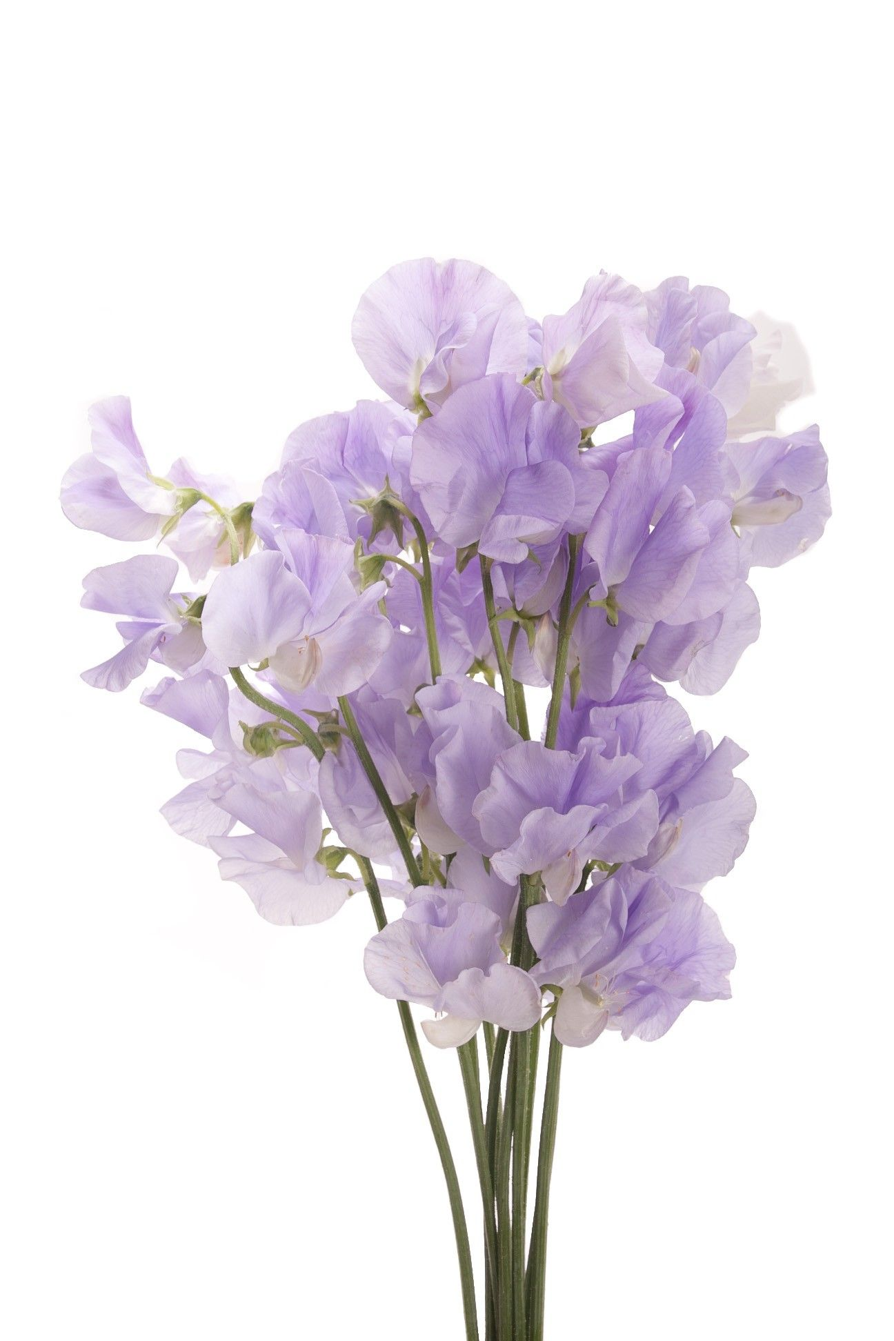 Lavender Sweet Peas Sweet Peas Types of Flowers Flower Muse
