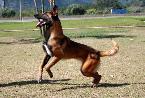 A Blog For Pet Lovers The Petnet Is Created For Animal Lovers You Will Find Amazing Tips And Hints Pets A Z T Belgian Malinois Dog Malinois Belgium Malinois