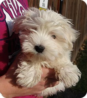 Ravenna Oh Maltese Meet Blizzard A Puppy For Adoption Puppy Adoption Kitten Adoption Pets