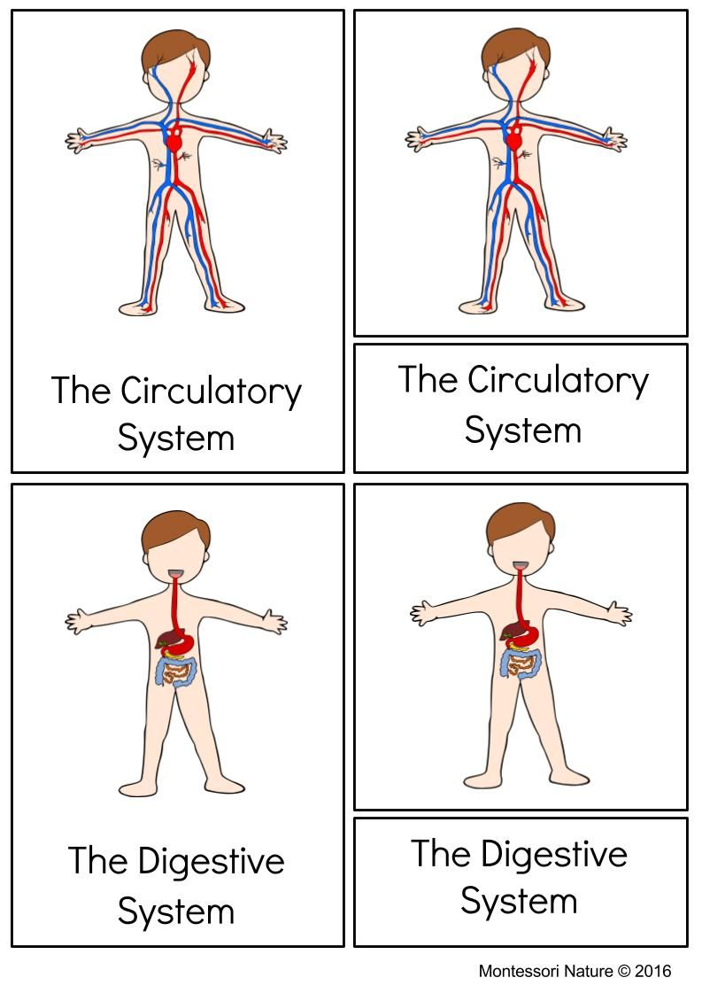 Systems Of The Human Body Montessori Printable Muscular System Activities Human Body Systems Muscular System Human body system worksheets
