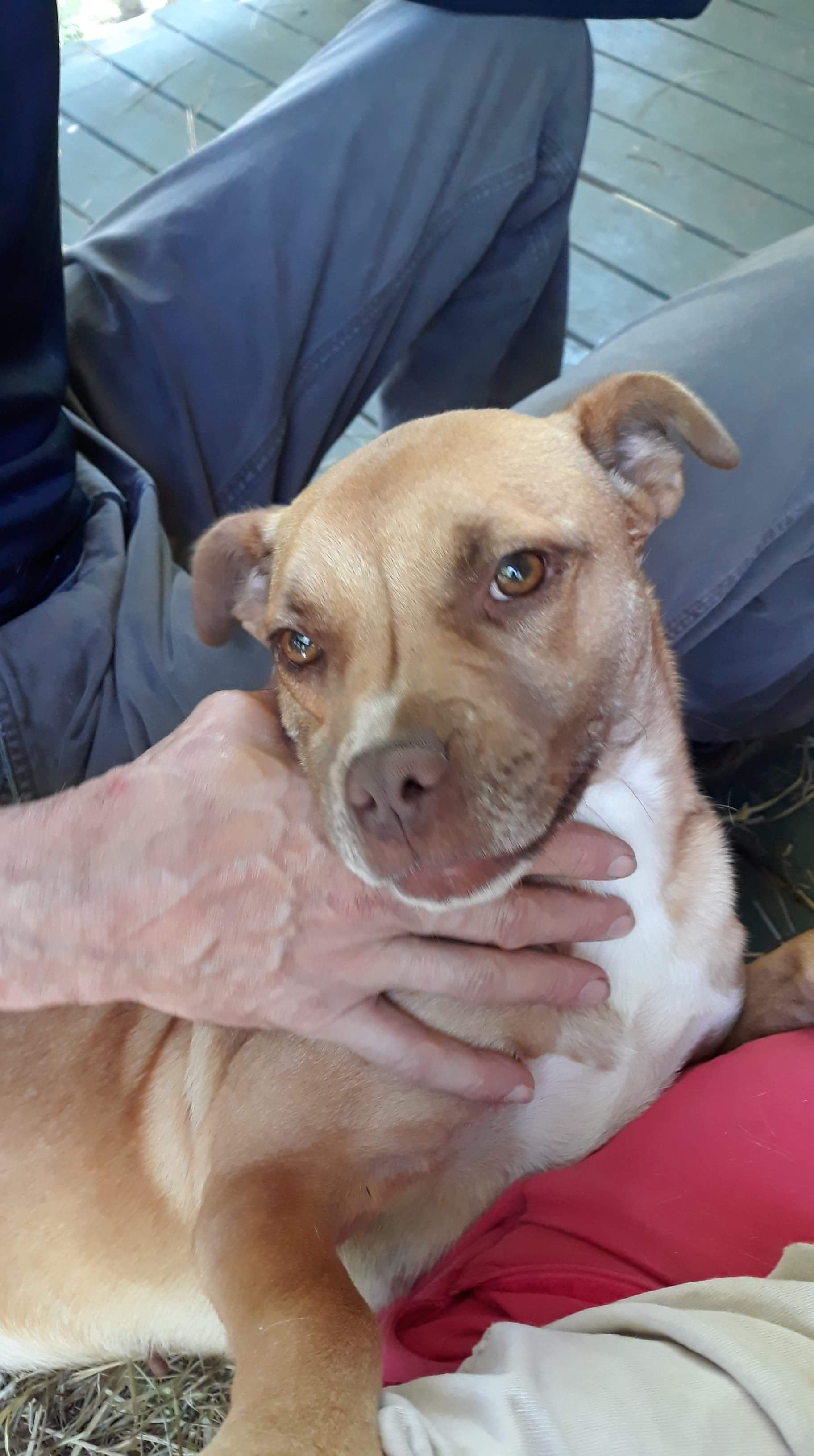 American Staffordshire Terrier Boxer Mix With Images Animal