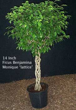 Growing Ficus Benjamina Tree Aka Weeping Fig Plantcaretoday In 2021 Ficus Benjamina Ficus Indoor Fig Trees