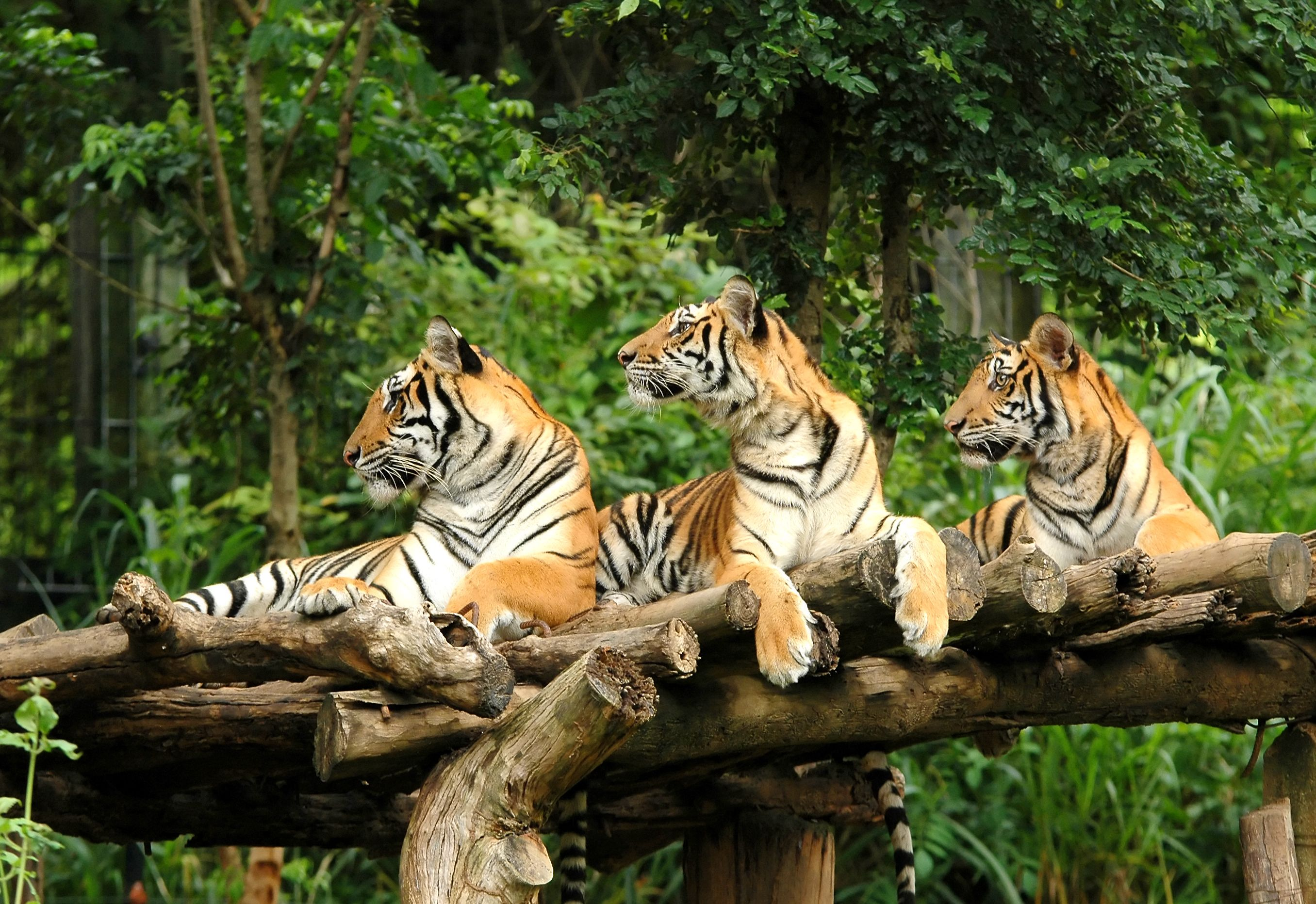 Three Bengal Tigers keeping watch from a tree.