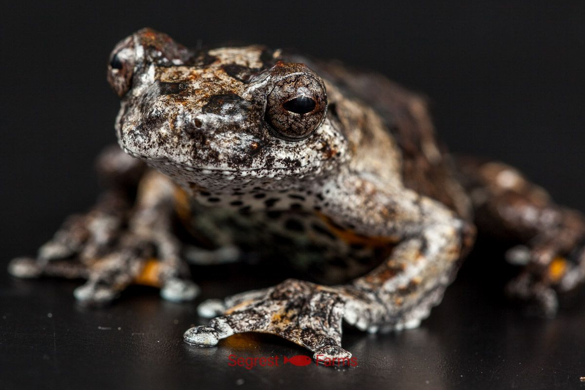 Marbled Tree Frog Tree Frogs Frog Reptiles And Amphibians
