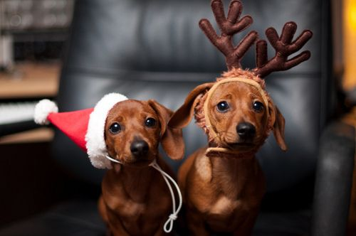 Festive little dogs.