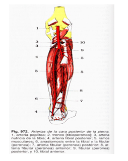 Medicina Para Todos Arterias De La Pierna Y Del Pie Been