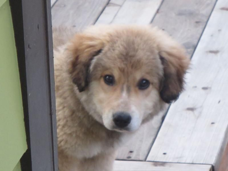 Adopt coach on rescue dogs animals collie mix