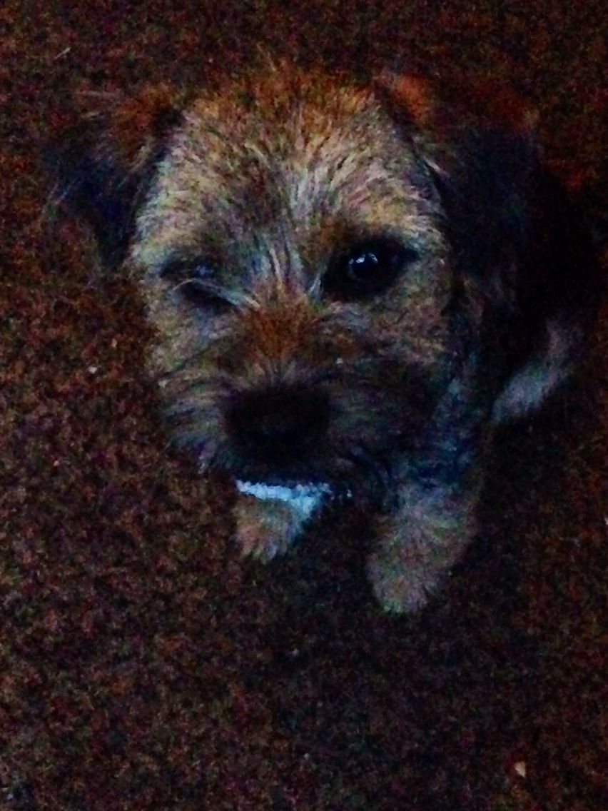 Pin On Border Terriers I Love Them Soooooo Much