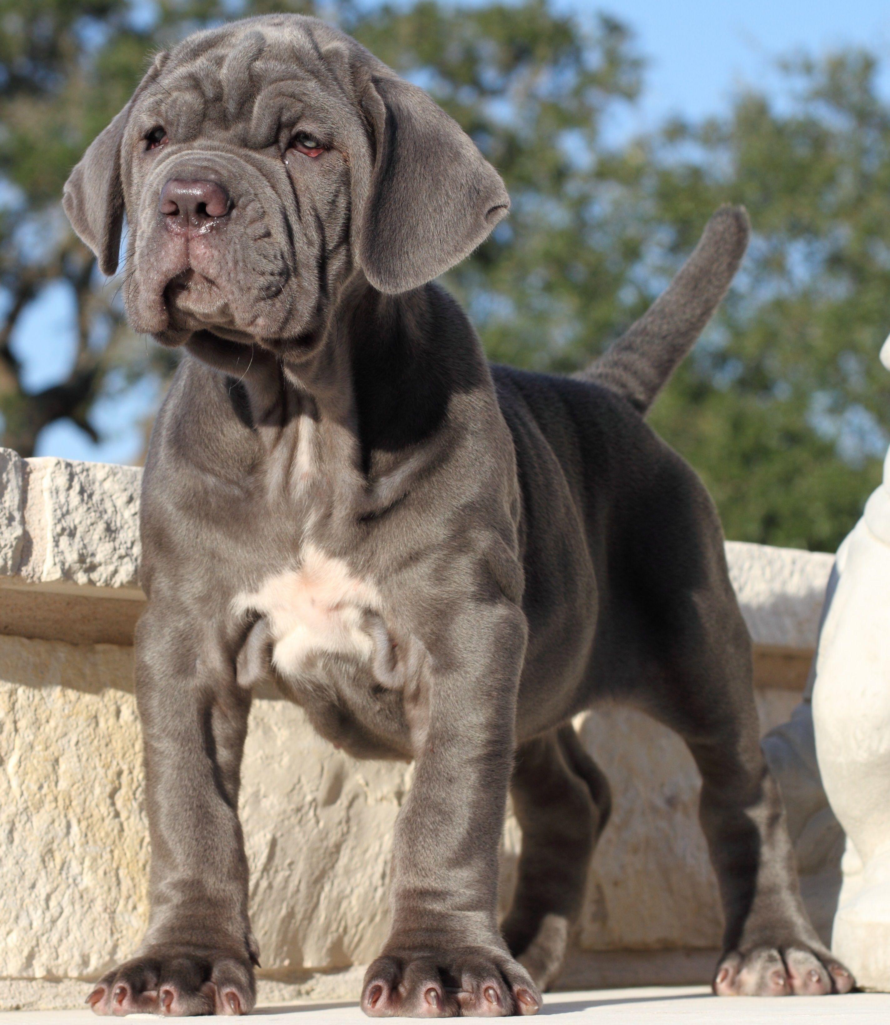 Neapolitan Mastiff Mastiff Puppies Mastiff Dogs English Mastiff Puppies
