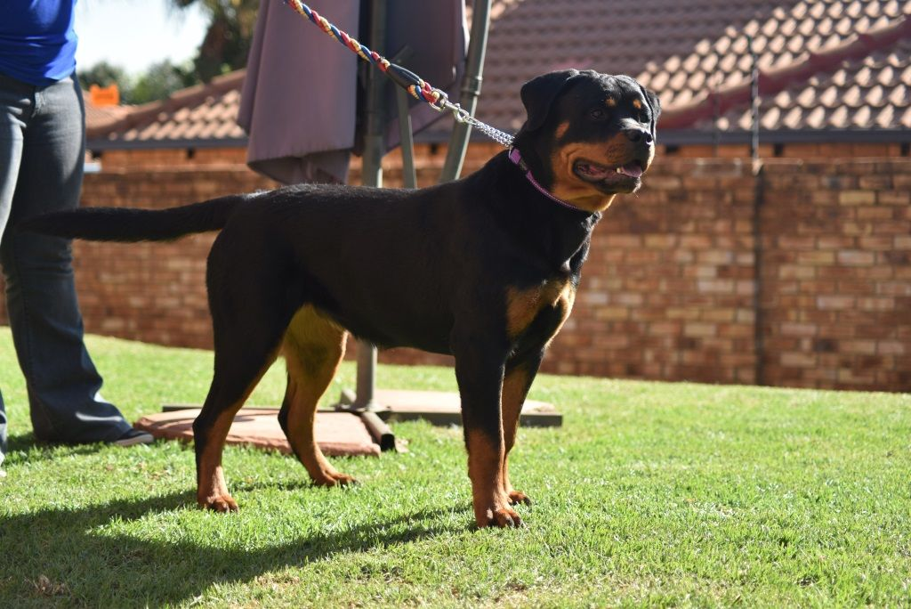 Panarsh Ivana Panarsh Rottweilers Rottweiler Dogs Animals