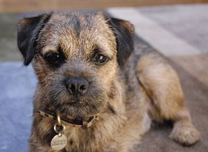 Border Terrier Border Terrier Border Terrier Puppy Terrier Dog