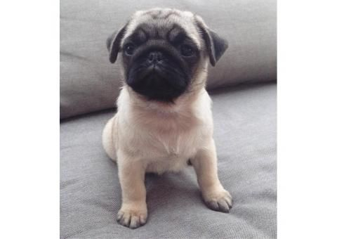 Pug Puppies For Sale In Ohio Dogs Ears Infection Worms In Dogs